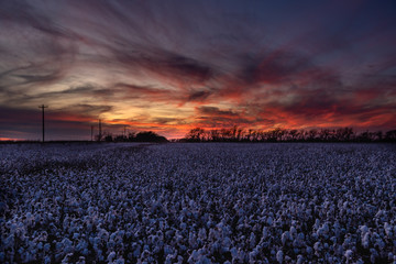 Sunset over cotton field