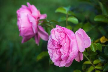 Wall Mural - Pink roses, macro photo of garden flowers