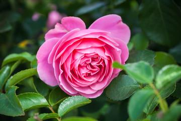 Wall Mural - Pink rose, macro photo of garden flower