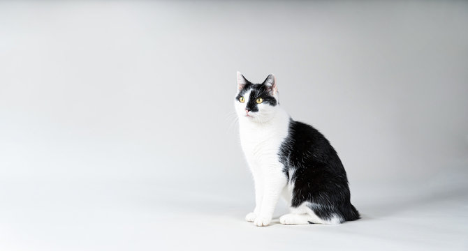Black and white cat on a grey background