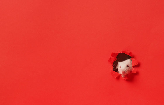 Cute white mouse on red background . Mouse is symbol of the new year 2020 in the Chinese calendar. New year and Christmas concept.