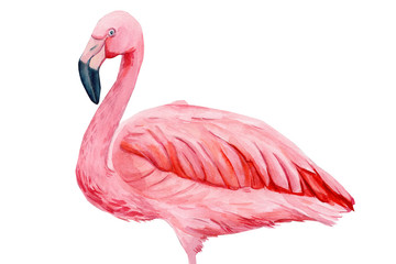 beautiful birds, pink flamingo, hand drawing, watercolor illustration on isolated white background