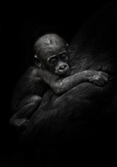 sad little cub. little gorilla kid clings to mother's coat. isolated black background.