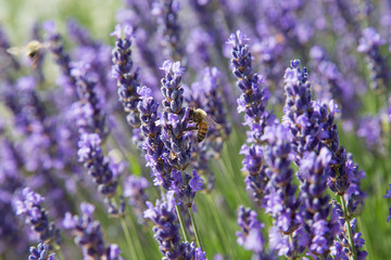 Natur- und Artenschutz: Biene sammelt Pollen im Lavendelfeld