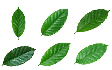 set of coffee green leaves isolated on white background. real leaves from nature.