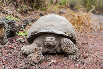 Galapagos giant tortoise on the Isabela Island walks along the bushes on the volcanic archipelago, the wildlife is found here in the National Park during a hike you will always find turtles