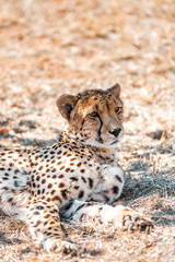 A cheetah in South Africa in the Kruger National Park is taking a break from hunting, the endangered wild animal is lying in the grassland in front of a bush in the midday sun, he is well camouflaged