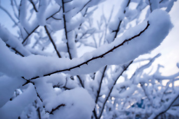 trees branches full of snow