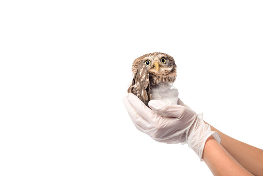 partial view of veterinarian holding wild injured owl isolated on white