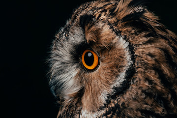 Foto op Canvas Uil side view of wild owl muzzle isolated on black