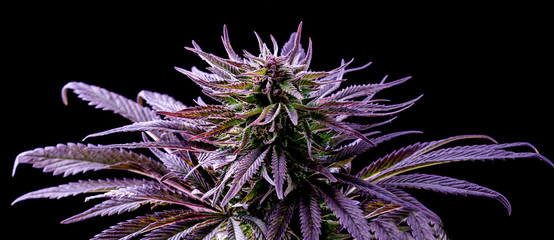 purple marijuana leaf, blue cannabis, beautiful plant on black