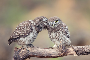 Fototapete - Two young Little owls, Athene noctua, sitting on a stick pressed against each other
