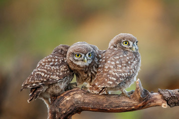 Fototapete - Three young Little owls, Athene noctua, sitting on a stick pressed against each other