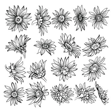 Hand drawn Sketch of blooms. Beautiful monochrome black and white flowers daisy. sunflower sketch.