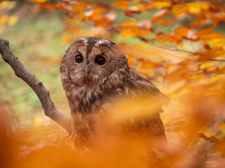 Tawny owl (Strix aluco) in autumn forest. Tawny owl sits on tree. Tawny owl and colorful autumn background.