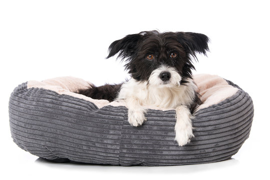 Tired dog lying in a dog bed isolated on white and looking to the camera