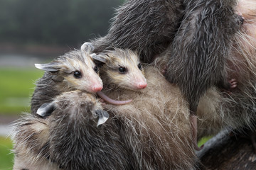 Fototapete - Soaked Virginia Opossum (Didelphis virginiana) Joeys Huddle Together on Mothers Back Summer