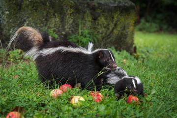 Striped Skunk (Mephitis mephitis) and Kit in Apple Strewn Grass Summer