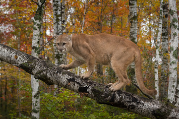 Fototapete - Adult Male Cougar (Puma concolor) Slinks Up Birch Branch Autumn