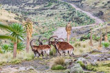 Fototapeta Group of Walia Ibex among giant lobelia in the Ethiopian highlands obraz