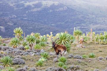 Fototapeta Walia Ibex among giant lobelia in the Ethiopian highlands obraz
