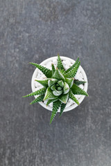 Overhead view of a single succulent plant