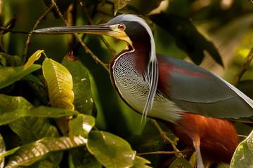 Agami Heron Fototapete