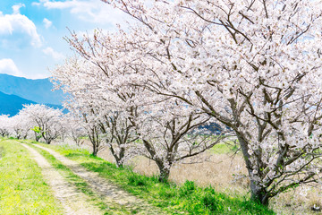 Wall Mural - 桜並木