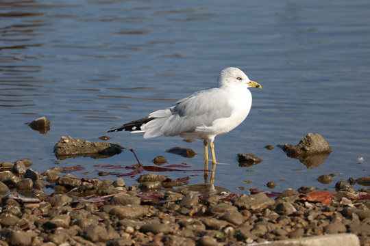 Seagull Standing In The Water