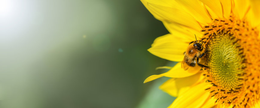 Banner. Bumblebee. One large bumblebee sits on a yellow sunflower flower on a Sunny bright day. Macro horizontal photography