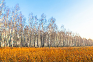 Birch forest in a yellow field at sunset. Autumn birch grove.