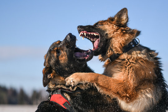 Agressive dogs. Dog attack. Dog fight. German shepherd