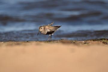 Biegus zmienny na plaży