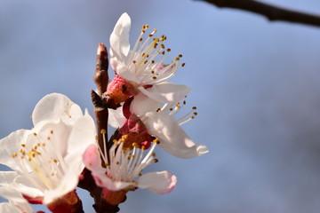 Obraz Kwitnąca wiśnia - fototapety do salonu