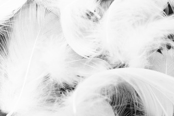 Beautiful macro white feather swan pattern texture background