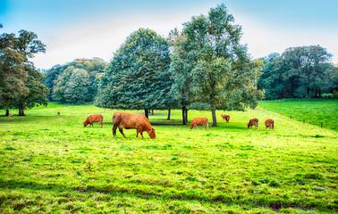 autumn landscape with bulls  near Blarney, Cork, Ireland