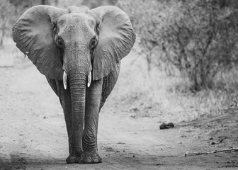 Aluminium Prints African Elephants in the kruger national park