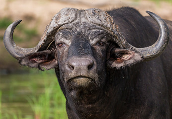 African Buffalo with Oxpeckers in the Kruger National Park