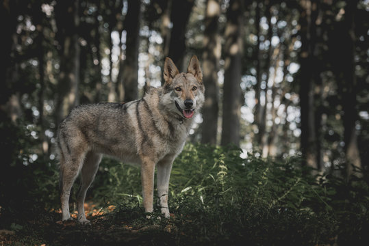 Czechoslovakian wolfdog, a breed coming from German Shepherd and wolf easily mistaken with wolf