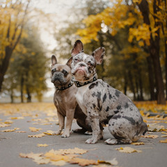 two french bulldog dogs outdoors in autumn