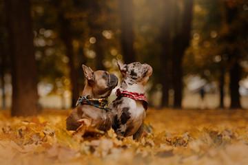 Fotorolgordijn Franse bulldog two french bulldog dogs outdoors in autumn