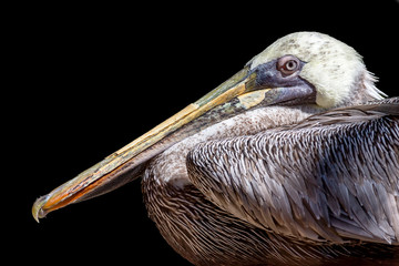 portrait of a brown pelican isolated on a black background
