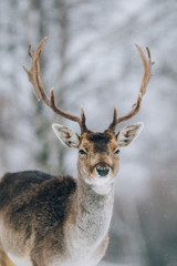 Beautiful deer in winter outdoors.