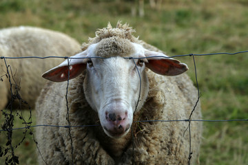 Fond de hotte en verre imprimé Sheep White sheep from behind the wire stares at the photographer