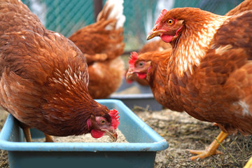 Photo sur Toile Poules Сhicken hens eat corn. Chickens at free range.