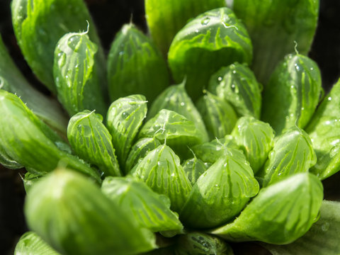Succulent plant close-up, leaves texture of Haworthia Cooperi