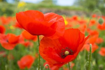 Obraz Close up of red poppy flowers in a field (Papaver rhoeas) - fototapety do salonu