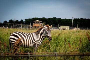 Close-up of Zebra grazing alone