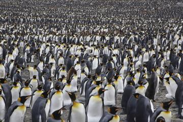 Door stickers Antarctica Colony of king penguins on South Georgia island