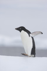 Acrylic Prints Antarctica Adelie penguins waking on iceberg